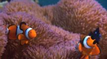 Clownfish And Dascyllus In Anemone
