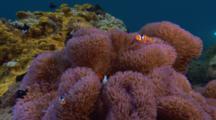 Clownfish And Dascyllus In Anemone