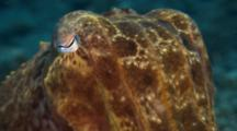 Closeup Of Cuttlefish Face And Eyes, Changes Color
