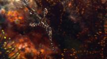 Harlequin Ghost Pipefish Hide In Crinoid