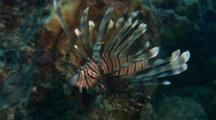Lionfish Hovers Over Reef