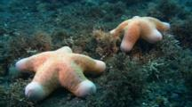 Pair Of Cushion Stars On Reef