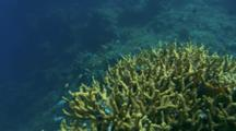 Small Fish Gather On Staghorn Coral