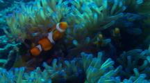 Clown Fish In Colorful Host Anemone