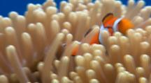Clown Fish In Host Anemone