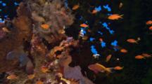 Anthias And Other Small Fish Around Green Tubastrea Coral