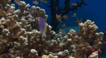 Anthias And Other Fish Gather On Coral Head