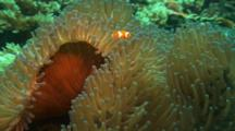 Clownfish In Sea Anenome
