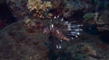 Lionfish Swims Over Reef