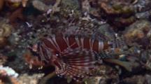 Zebra Lionfish Rests On Reef