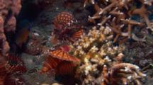 Zebra Lionfish Flares Out Fins At Another