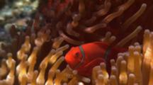 Spine-Cheek Anemonefish In Host