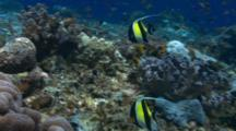Moorish Idols Swim Over Reef