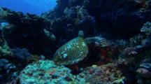 Sea Turtle Crawls Over Reef, Swims Away