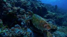 Sea Turtle Crawls Over Reef