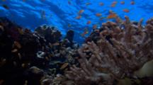 Small Tropical Fish Gather Above Coral