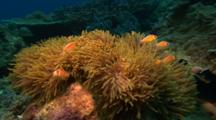 Pink Anemonefish In Host Anemone