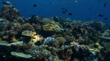 Small, Shallow Coral Reef Scenic With Tropical Fish