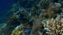 Small Coral Reef Scenic With Tropical Fish