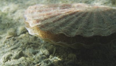 Great scallop - Pecten maximus. Baltic prawns (Palaemon adspersus) climbing over the scallop
