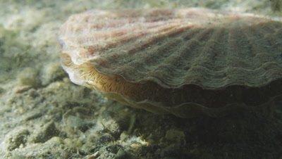 Great scallop - Pecten maximus. Baltic prawns (Palaemon adspersus) climbing over the scallop