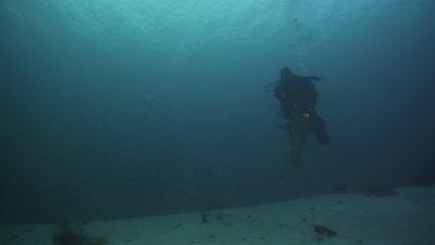 Diver picking scallops - Pecten maximus.