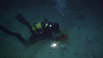 Diver picking scallops - Pecten maximus.