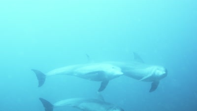 Group of dolphins playing near Lamu,Kenya