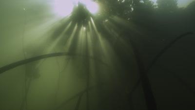 Manrgrove trees at high tide