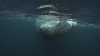 Sperm whale video clip
