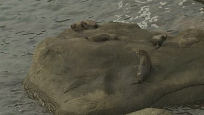 Close up of a small group of fur seals on a rock, zoom out to reveal dozens of seals in the area