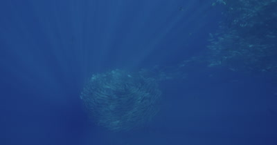 Large school of jacks swimming in vortex shape