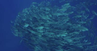 Large school of jackfish swimming towards surface