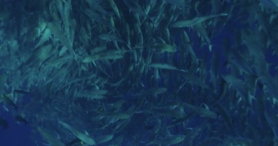 large school of jacks, sunlight patterns visible on fish