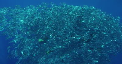 Large school of fish swimming