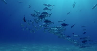 School of jacks swimming near seabed in various formations