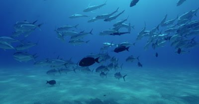 School of jacks swimming near seabed in various formations, fish cross frame