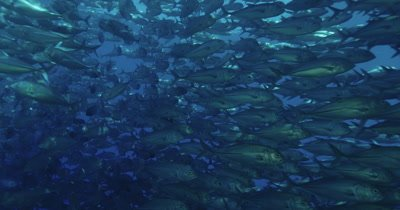 Large school of jacks swimming around camera