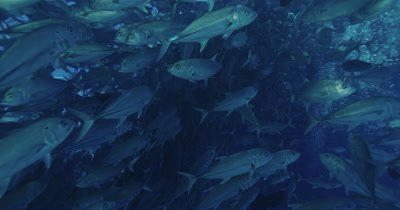 Large school of fish swimming. Scuba bubbles in background