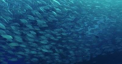 Large school of jacks swimming