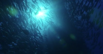 beautiful slow motion footage of jacks swimming above with sunlight peering through creating a silhouette effect.