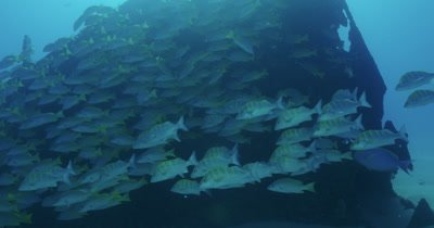School of grunts swimming aggregating near wreck