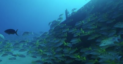 School of grunts near seabed
