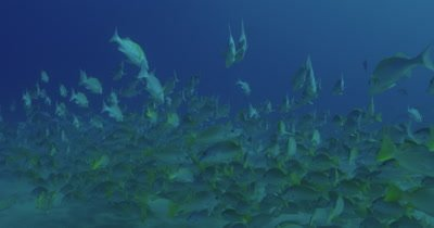 Following a grouper swim through a school of grunts