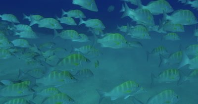 School of grunts swimming near seabed