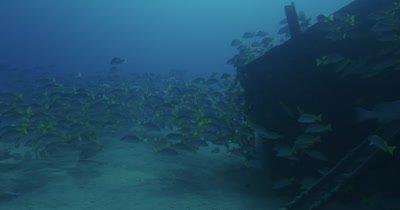 School of grunts swimming around wreck