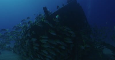School of grunts swimming around wreck.