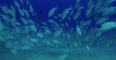 School of grunts near seabed, slightly drifting in swell