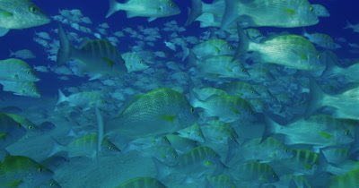 Long take of a close up of a school of grunts slowly swimming from left to right.