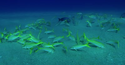 Traveling along sandy ocean floor as yellow goatfish feed in the sand